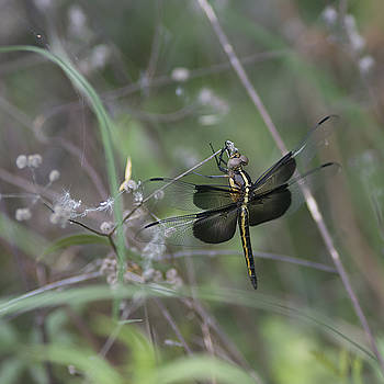 Widow skimmer  by Billy Stovall