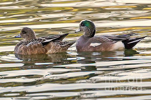 Wigeon Couple by Kate Brown