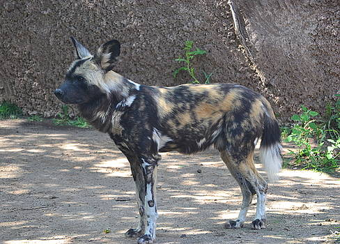 Wild African Dog by Jasmin's Treasures