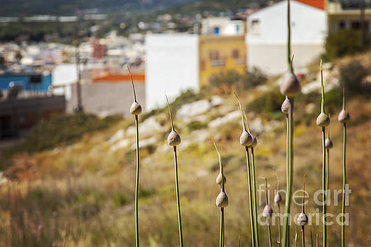 Sophie McAulay - Wild allium on Crete