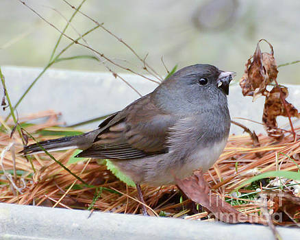 Wild Birds - Dark-eyed Junco by Kerri Farley
