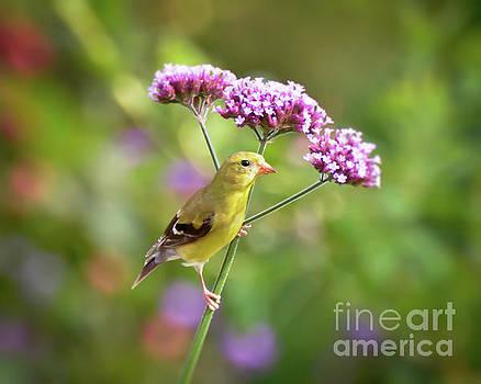 Wild Birds - Female Goldfinch by Kerri Farley
