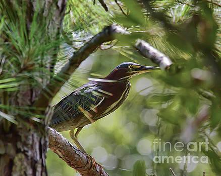 Wild Birds - Green Heron Tries to Hide by Kerri Farley
