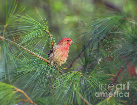Wild Birds - House Finch in the Pines by Kerri Farley
