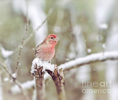 Wild Birds - House Finch in The Snow by Kerri Farley of New River Nature