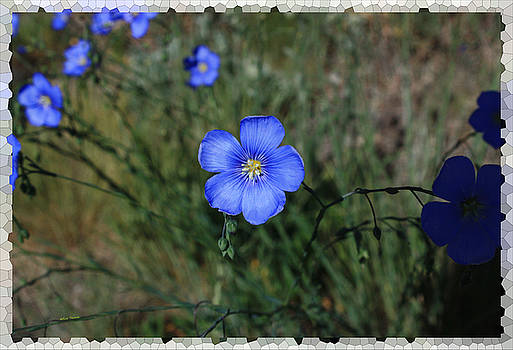 Wild Blue Flax by Rick Thiemke