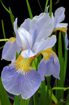Sam Davis Johnson - Wild Blue Mountain Iris