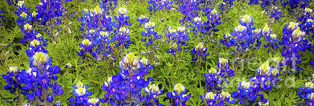 Wild Bluebonnet Flowers by D Davila