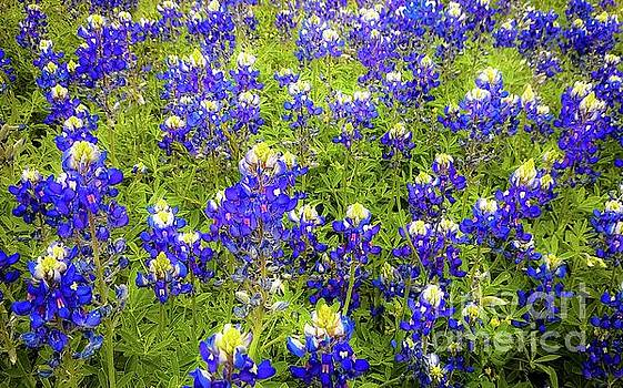 Wild Bluebonnets Blooming by D Davila