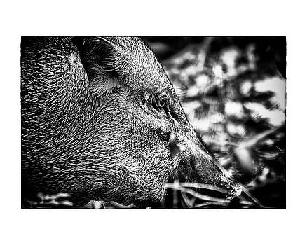 Wild Boar by Wade Courtney
