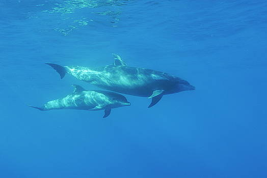 Sami Sarkis - Wild Bottle-nosed dolphin mother and calf