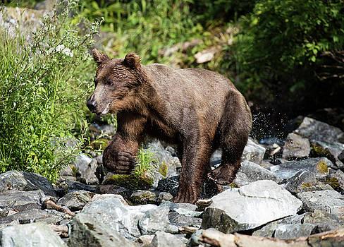 Gloria Anderson - Wild brown bear
