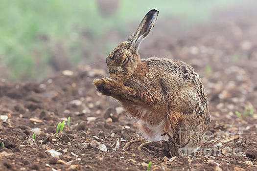 Simon Bratt Photography LRPS - Wild brown hare with eyes closed, having a morning wash 0124