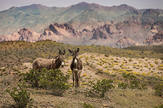 Wild Burros at Lake Mead by Janis Knight