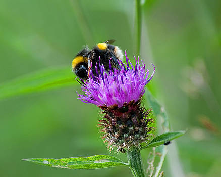 Wild Busy Worker Bumble Bee on a Thistle Flower by Chris Smith