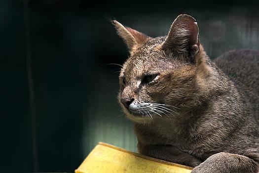 Ramabhadran Thirupattur - Wild Cat