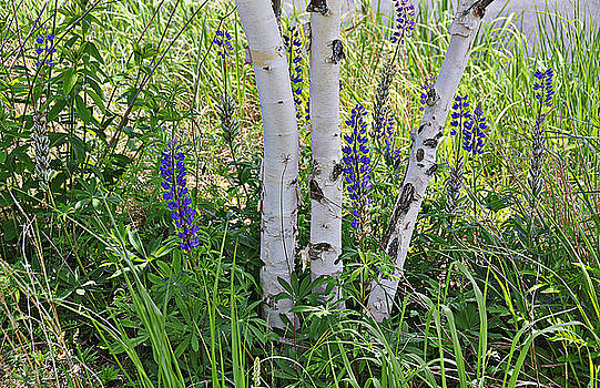 Wild Center birches by David Seguin