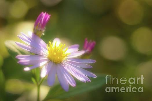 Wild chrysanthemum by Tatsuya Atarashi