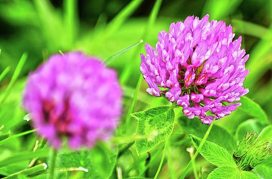 Spade Photo - Wild Clover Flowers