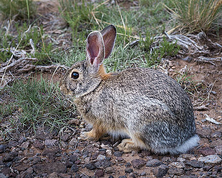 Wild Colorado Cottontail in the Brush by John Brink
