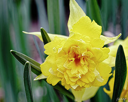 Wild Daffodil by Phill Doherty