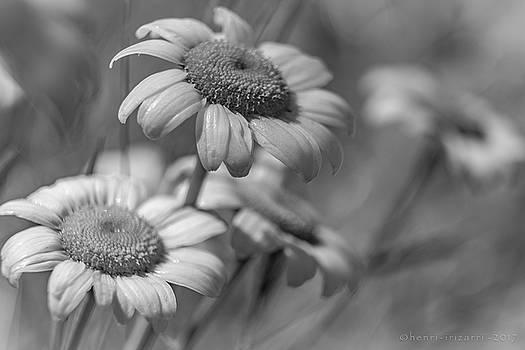 Wild Daisies  by Henri Irizarri