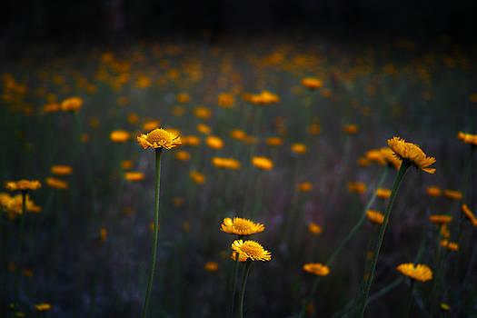 Wild Daisies by Roberto Aloi