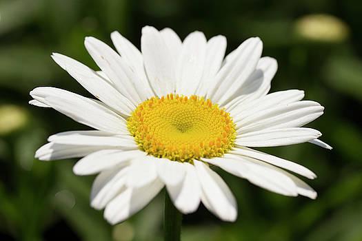 Wild Daisy by Mark Michel