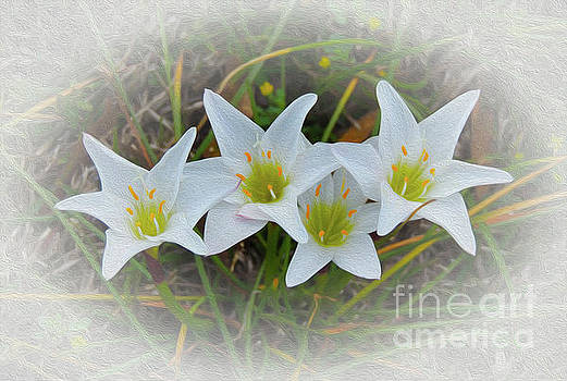 Wild Easter Lilies by Kim Pate