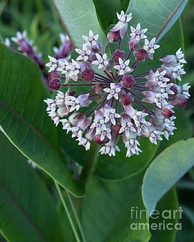 Wild Flower Star Burst by Marc Champagne