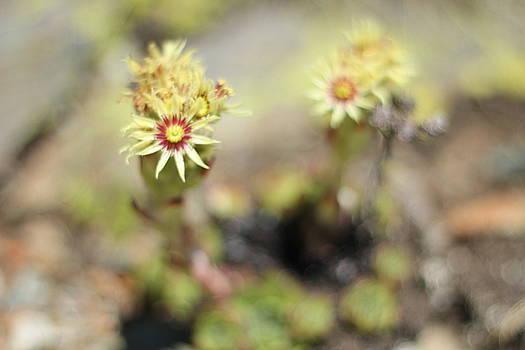 Wild Flower Aosta by Begonia Mallenco