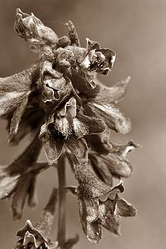 Wild flower in sepia by Mario Brenes Simon
