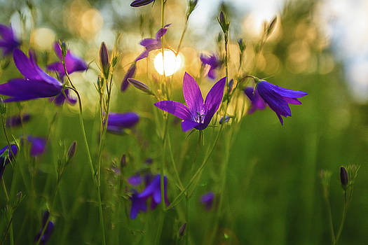 Wild flowers at sunset, against the light by Anna Matveeva