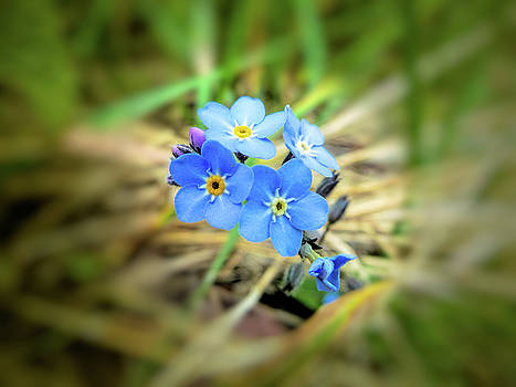 Wild forget me not by Valerie Anne Kelly