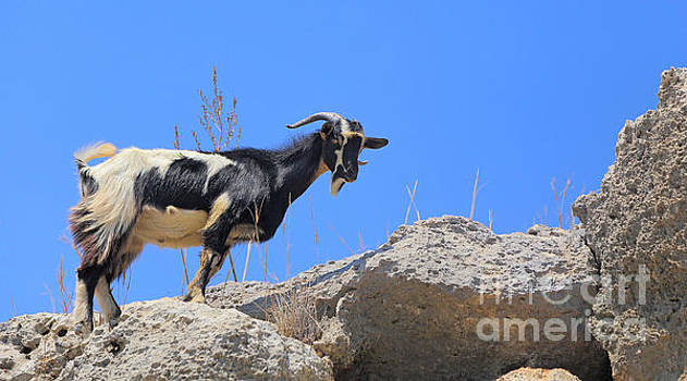 Wild Goat  by Susan Wall