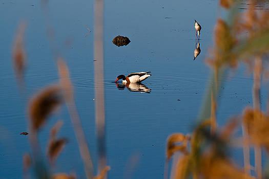Wild Goose by Dario Pozzati