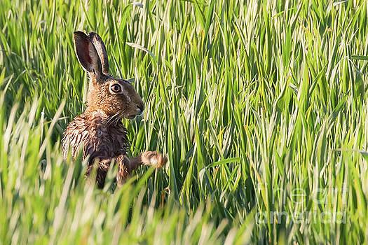 Simon Bratt Photography LRPS - Wild hare bathing in the morning sunlight