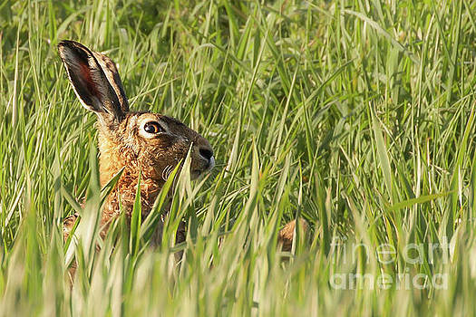Wild hare close up in crops by Simon Bratt Photography LRPS