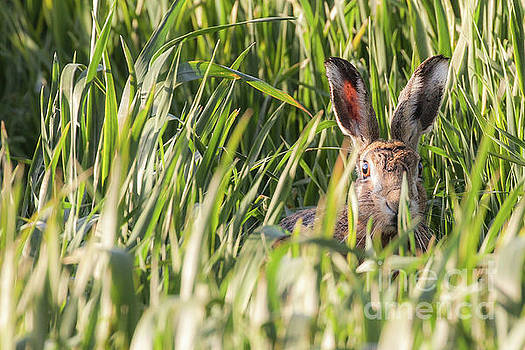 Wild hare in crops looking at camera by Simon Bratt Photography LRPS