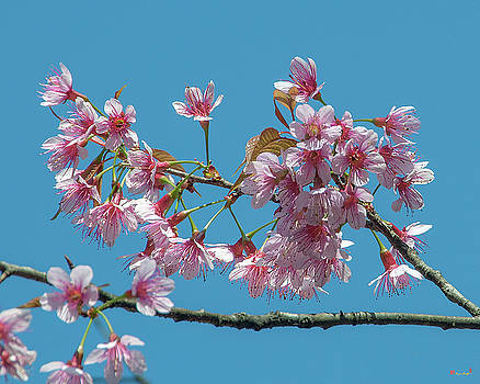 Wild Himalayan Cherry DTHN0220 by Gerry Gantt