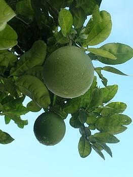 Wild Honey Pomelo Fruit Tree by Kathy Daxon