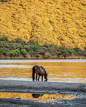 Wild Horse Drinking Water From River by Susan Schmitz