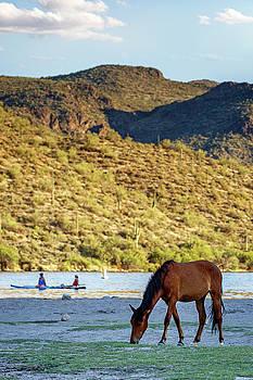 Susan Schmitz - Wild Horse Grazing on Shore Near People