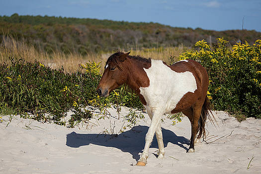 Wild Horse on Beach by Stephanie McDowell