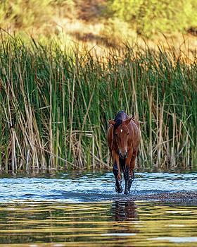 Wild Horse Walking Forward in Salt River by Susan Schmitz