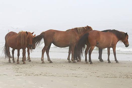 Wild Horses At Corolla, NC 11 by David Stasiak