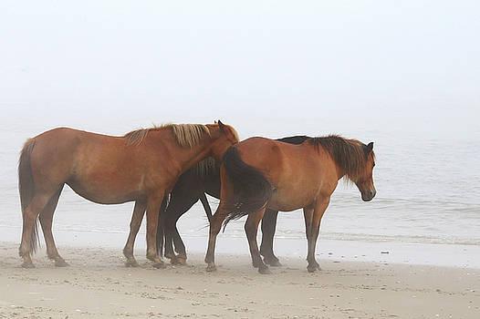 Wild Horses At Corolla, NC 16 by David Stasiak