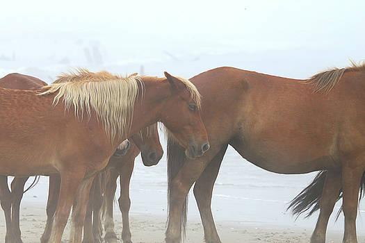 Wild Horses At Corolla, NC 14 by David Stasiak