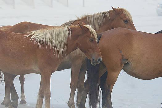 Wild Horses At Corolla, NC 19 by David Stasiak