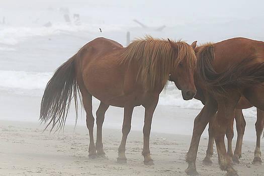 Wild Horses At Corolla NC 2 by David Stasiak